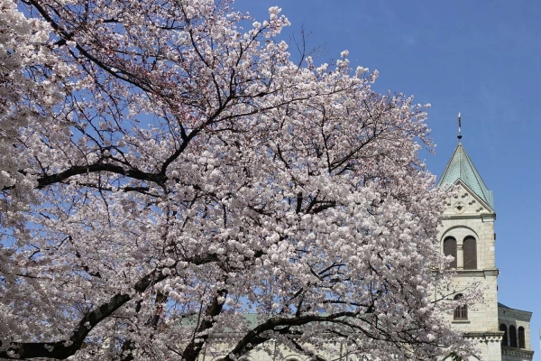 松が峰教会と桜