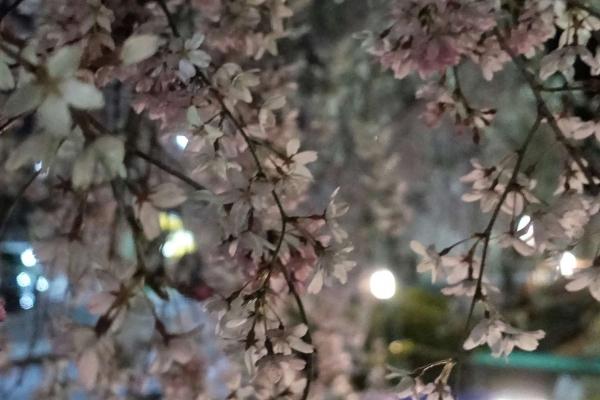 釜川としだれ桜