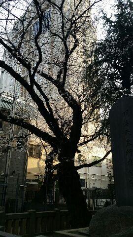 urawasakura.jpg