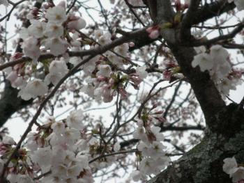 桜 2019040301