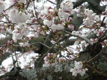 桜 2019040302