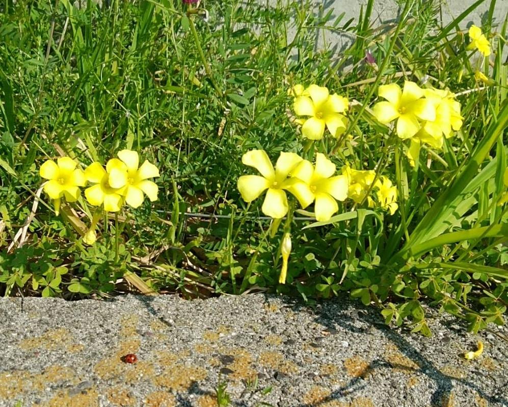 大阪で見つけた黄色いお花とてんとう虫