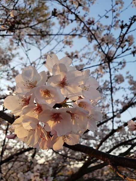 愛媛の桜1