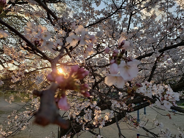 愛媛の桜2