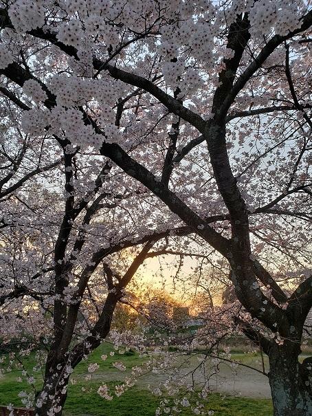 愛媛の桜4