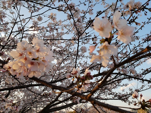 愛媛の桜5