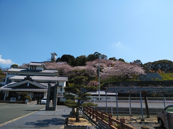今治市菊間町【かわら館】の桜