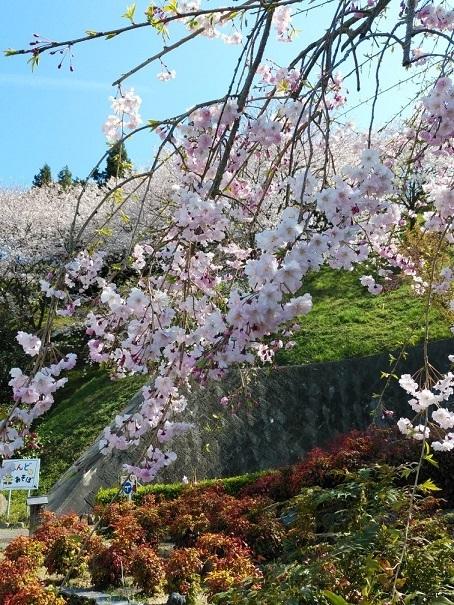 今治市菊間町【かわら館】の桜1