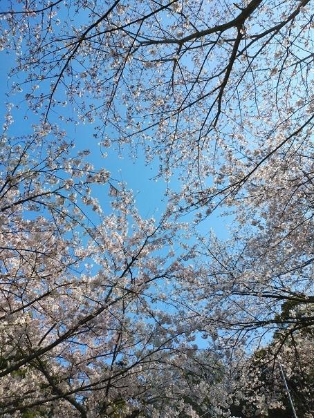 今治市菊間町【かわら館】の桜2