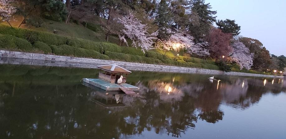 夕暮れ時の松山の松山のお堀と桜と白鳥ミーママより2