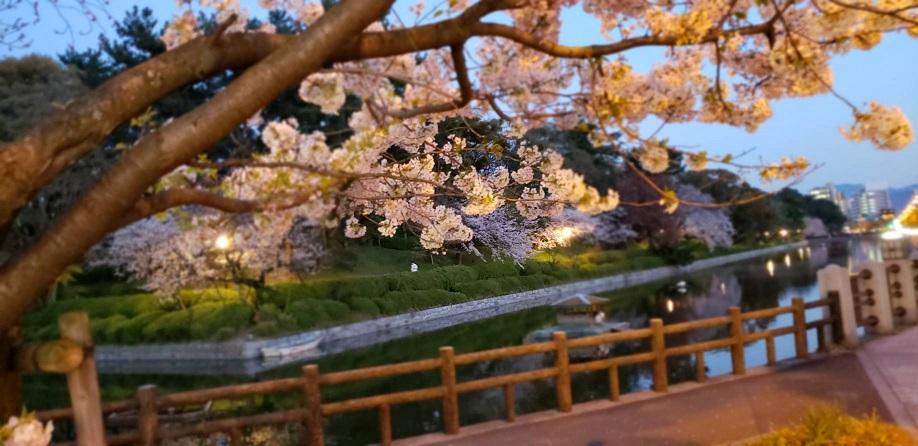 夕暮れ時の松山の松山のお堀と桜と白鳥ミーママより4