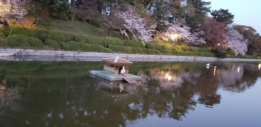 夕暮れ時の松山の松山のお堀と桜と白鳥ミーママより5