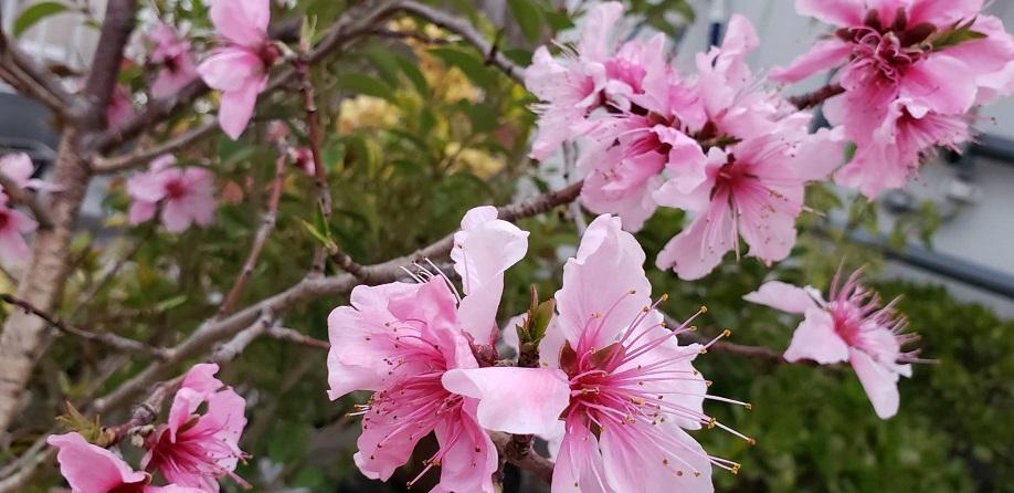 鉢植えの山桃の花が今年も屋上で咲きました