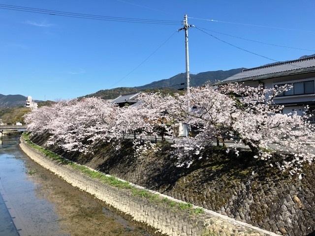 和霊神社前の須賀川の川沿いに咲いていた桜