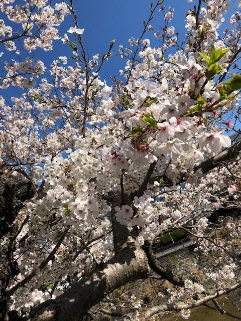 宇和島市の桜