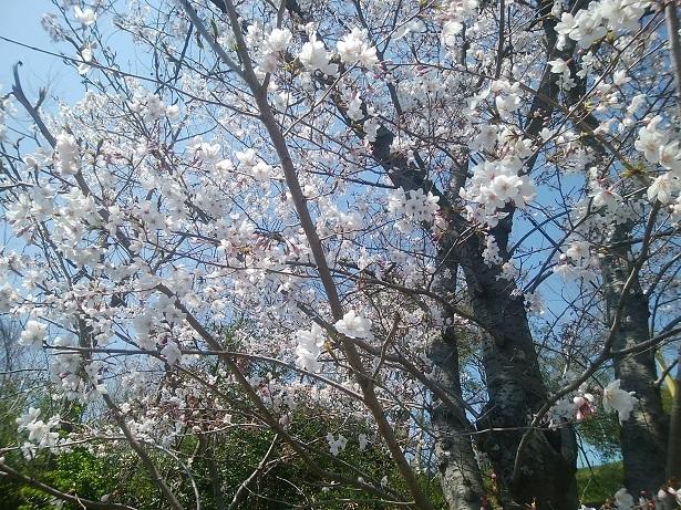 桜アグネス1