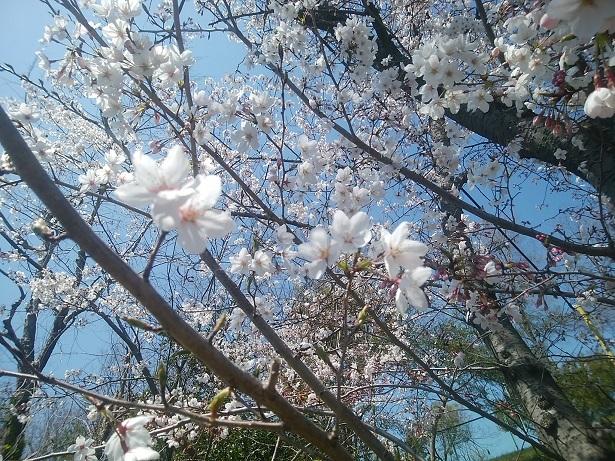 桜アグネス2