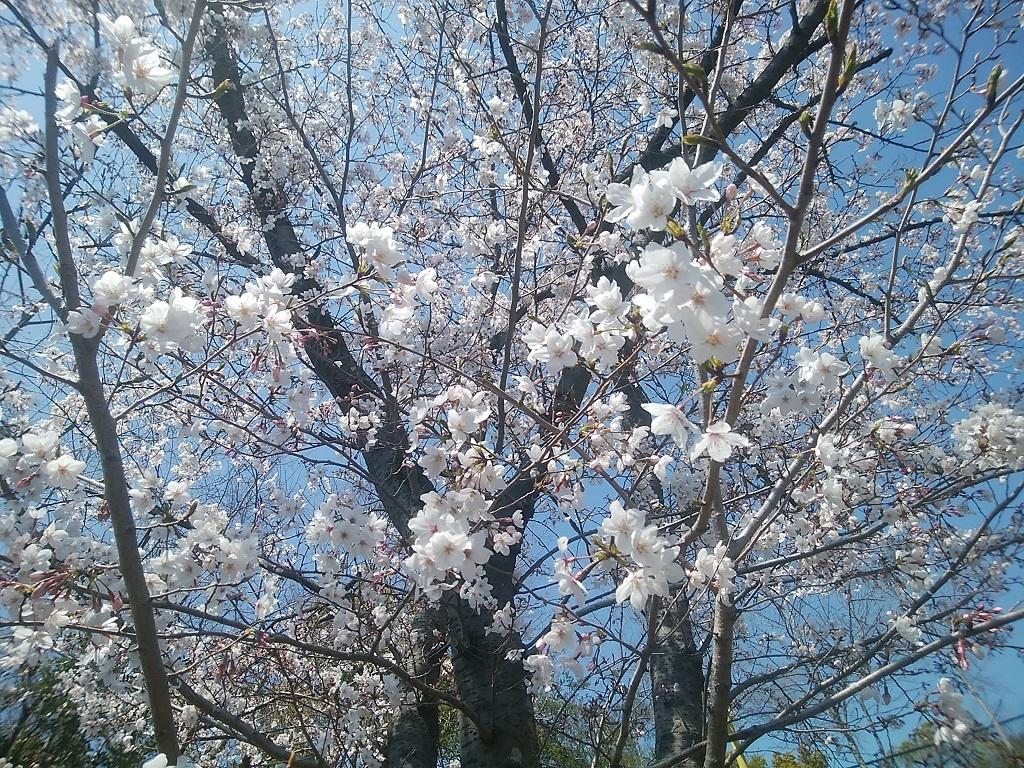 桜アグネス4