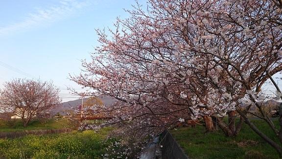桜と菜の花美和ちゃん