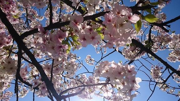 松山総合公園の桜1