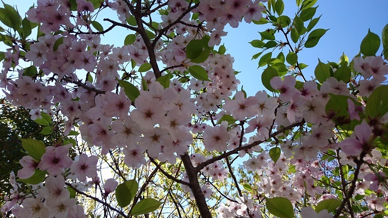 松山総合公園の桜2