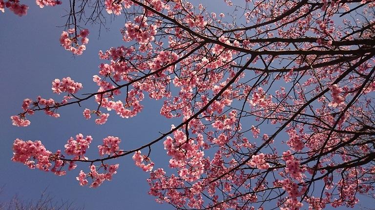 松山総合公園の早咲き桜
