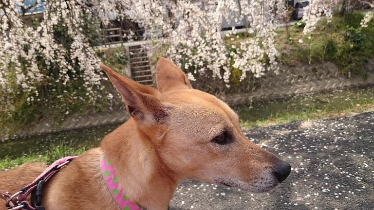 内子の垂れ桜とマリリン