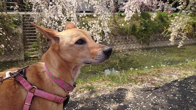 内子の垂れ桜とマリリン1