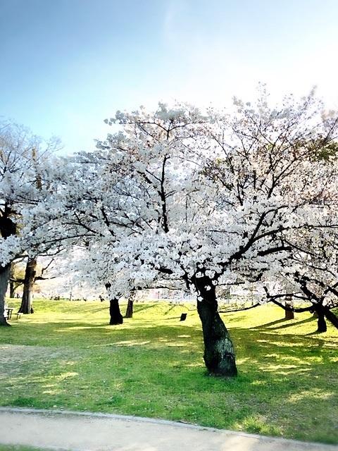 市内の、はんぞうのお散歩コースの桜1