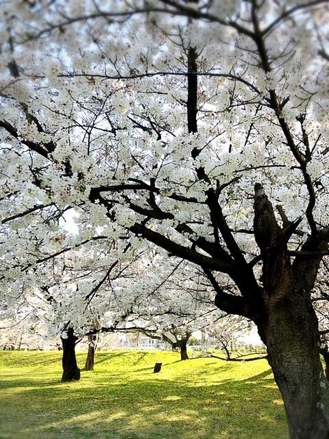 市内の、はんぞうのお散歩コースの桜2