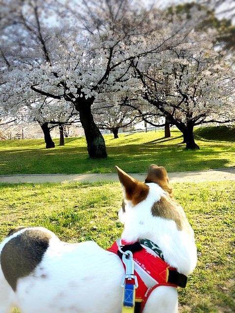 市内の、はんぞうのお散歩コースの桜3