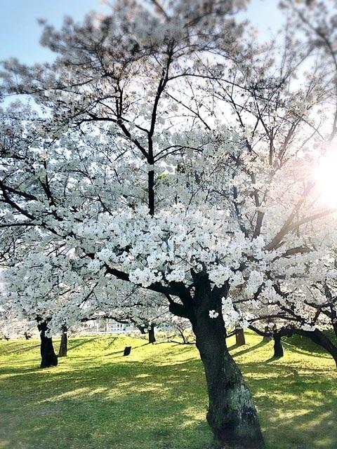 市内の、はんぞうのお散歩コースの桜4