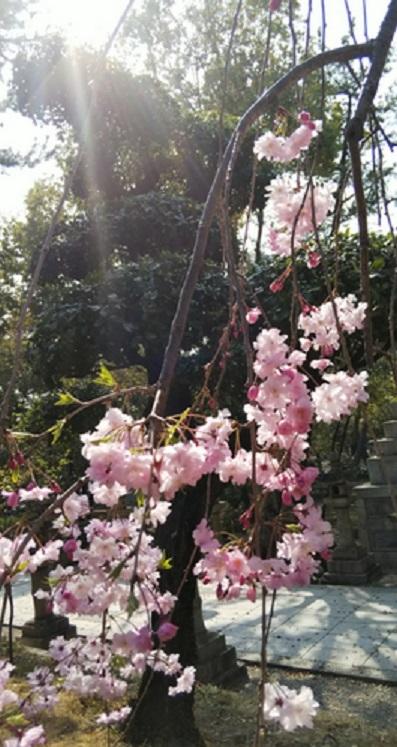 桜エミちゃん3