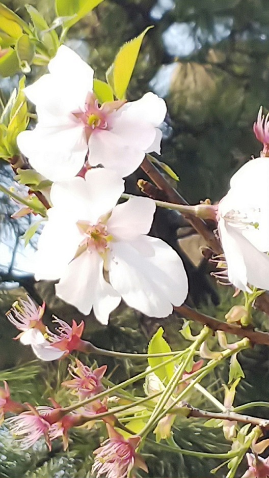 桜エミちゃん7
