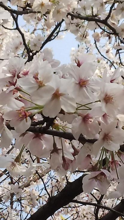 桜エミちゃん8