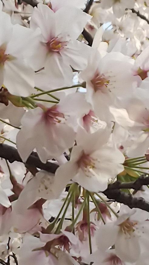 桜エミちゃん9