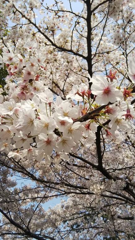 桜エミちゃん10