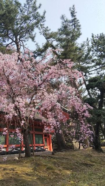桜エミちゃん11