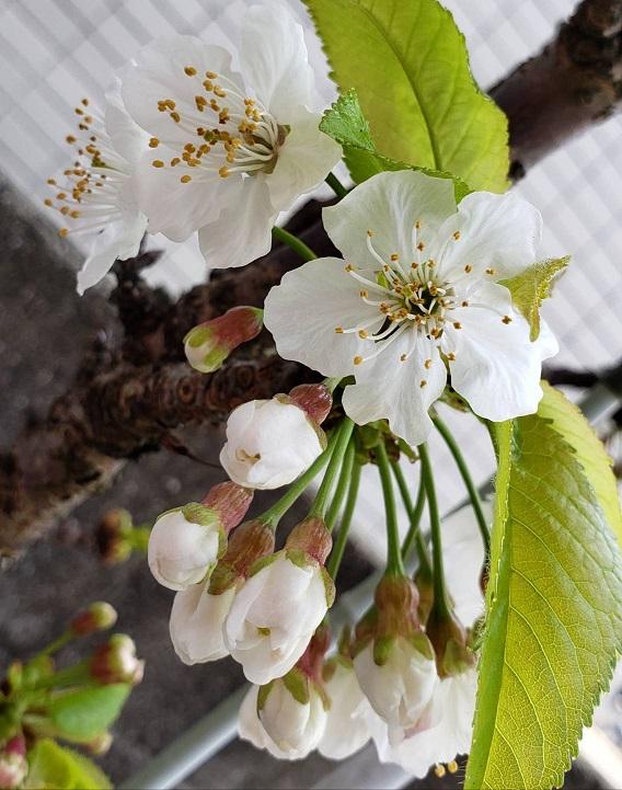 さくらんぼの桜の花可憐で可愛いです