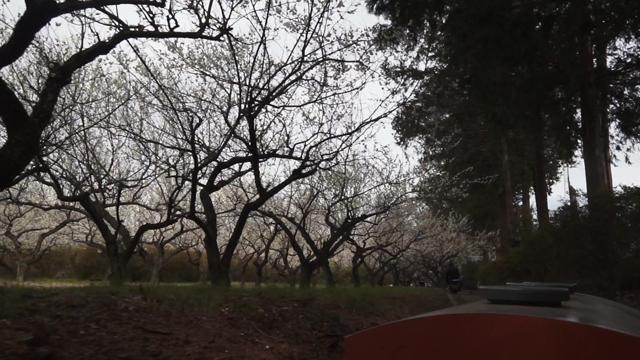 梅林が綺麗。臭いも最高