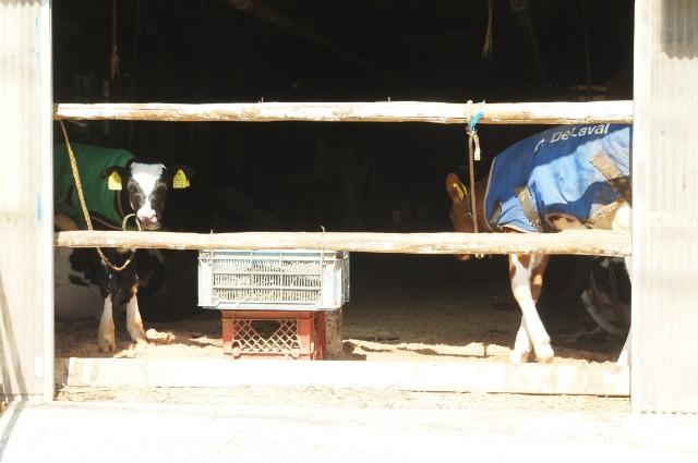 百草ファームの牛