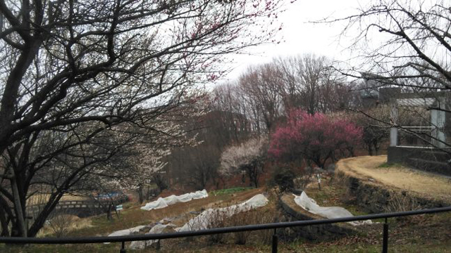 殿ヶ谷公園の梅