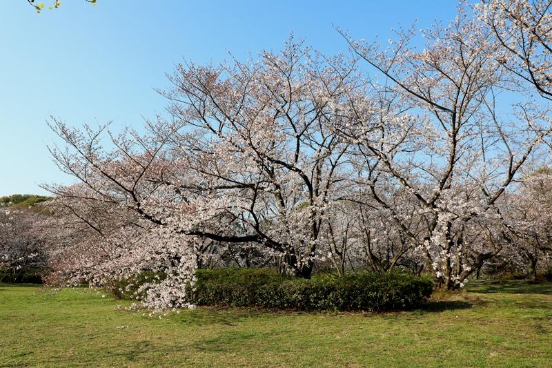桜2190403
