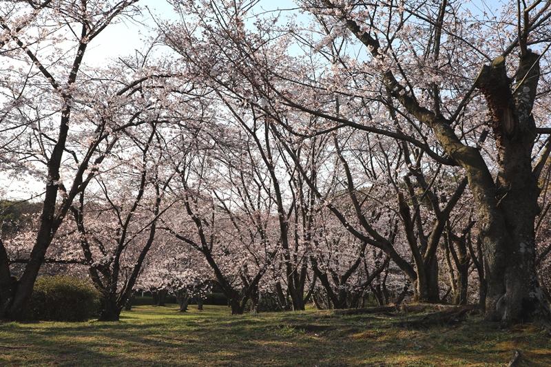 桜3190403