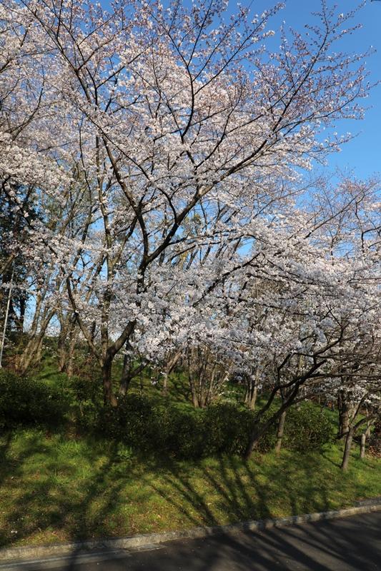 桜4190403