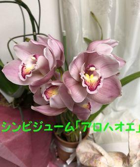 花「アロハオエ」