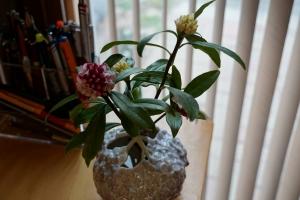沈丁花の咲く頃2
