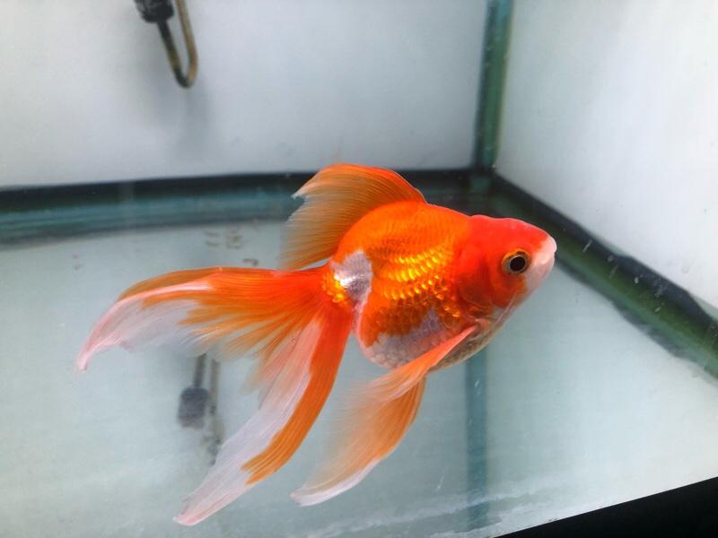 金魚白点…完治