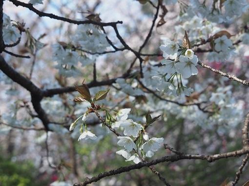 白い桜の下で