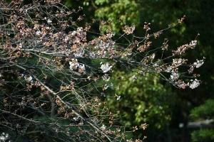Early Sakura Blossoms